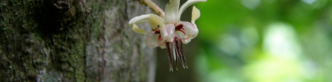Fijiana cacao flower