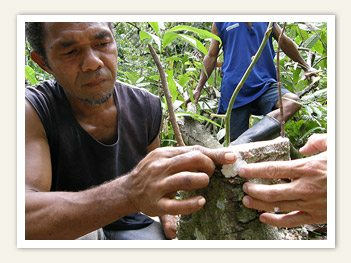Farmer at the cacao farm