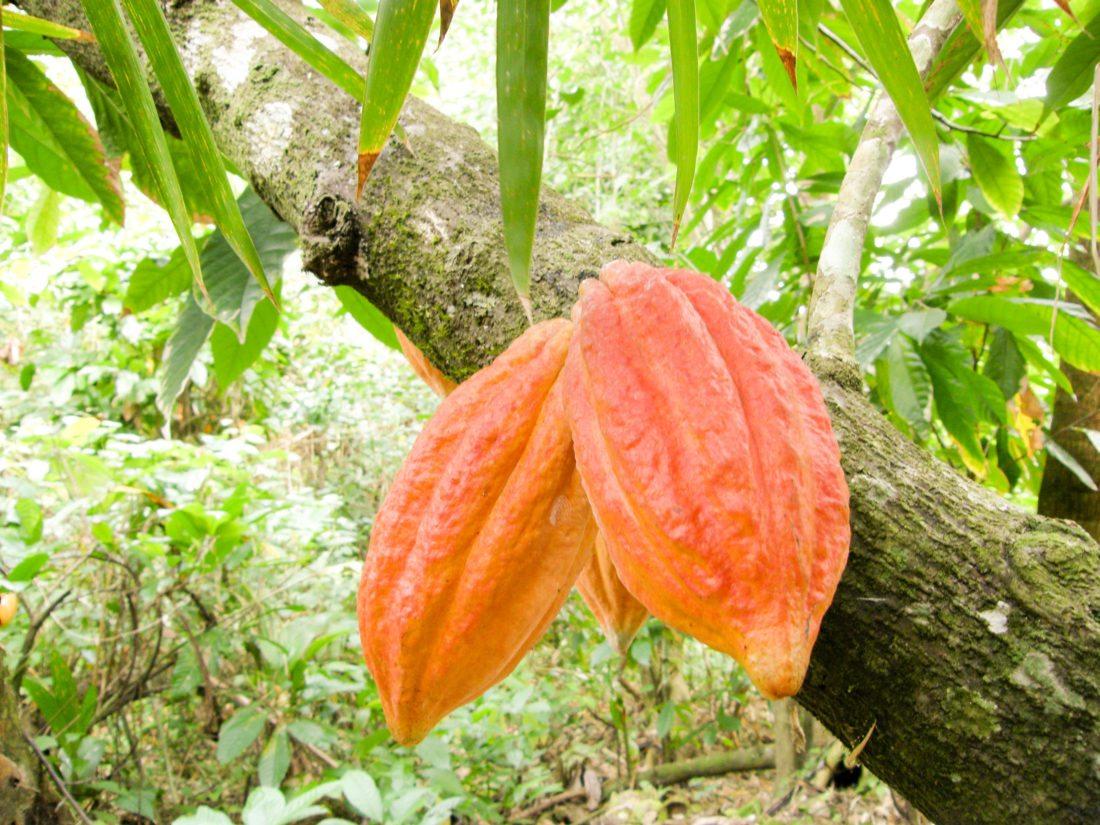 Fiji Cacao pods - Fijiana Cacao plantation