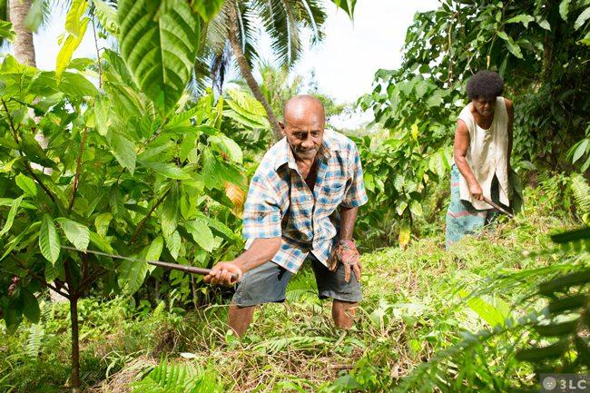 Fijiana Cacao farmers harvesting cacao beans