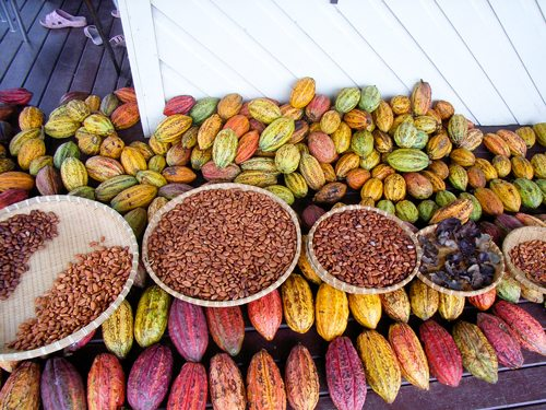 Cocoa beans ready for processing - Fijiana Cacao