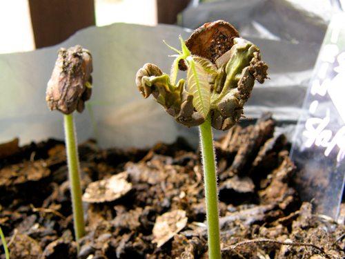 Baby Cacao plants - Fijiana Cacao plantation